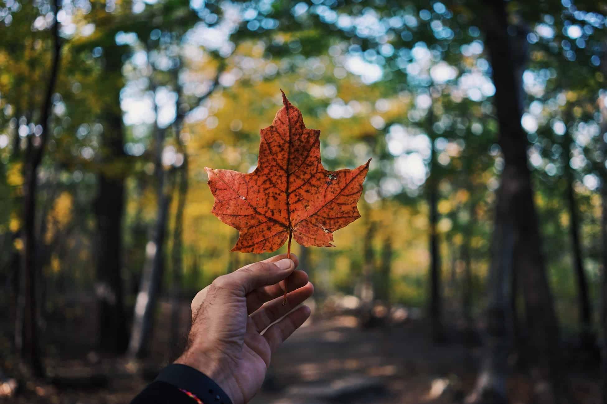 Leaf of Canada